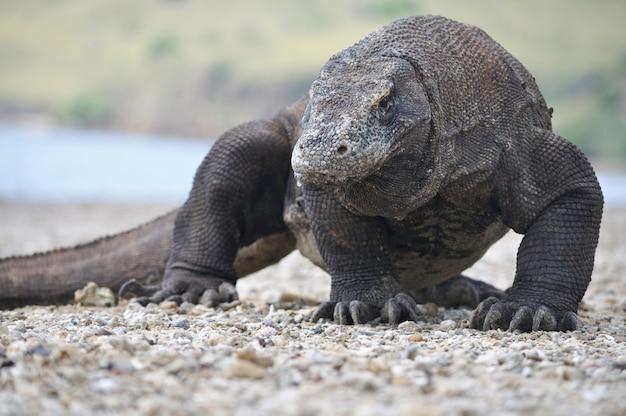 The famous komodo dragon
