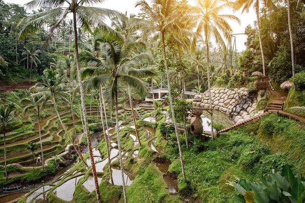 Знаменитые рисовые террасы на бали.