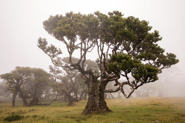 Fanalの古い月桂樹の木