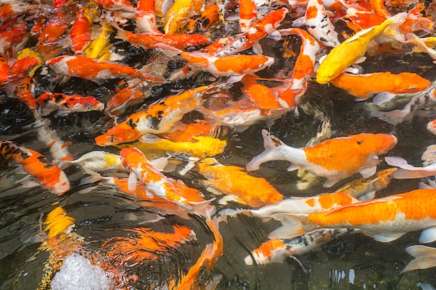 Яркая причудливого карпа красочная на воде есть еду.