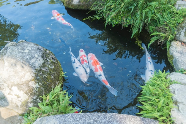 Fancy carp in japan