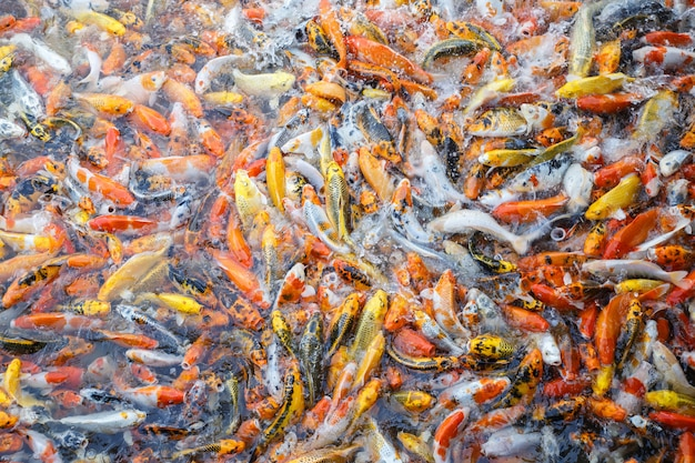 Fancy carp, mirror carp or koi fish in the river, carp are a large group of fish originally found in central europe and asia, beauty in natural.