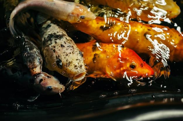 Fancy carp или koi рыба красного, оранжевого, белого, черного цвета. вид на карпа - бекко. декоративная яркая рыба плавает в пруду. крупный план.