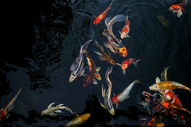 Fancy carp swimming in the pond, fancy carp are golden,