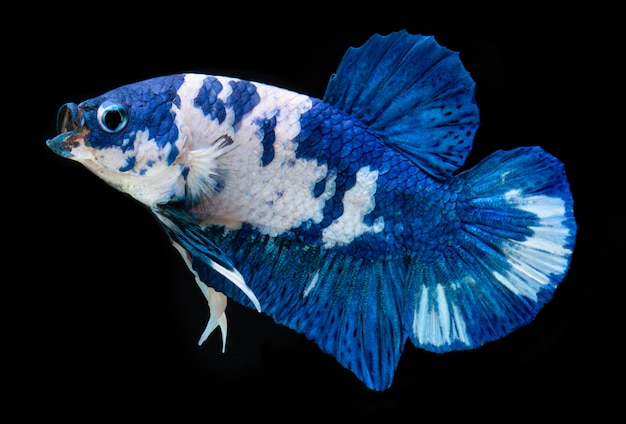 Fancy koi galaxy betta fish.
