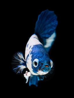 Fancy koi galaxy betta fish.