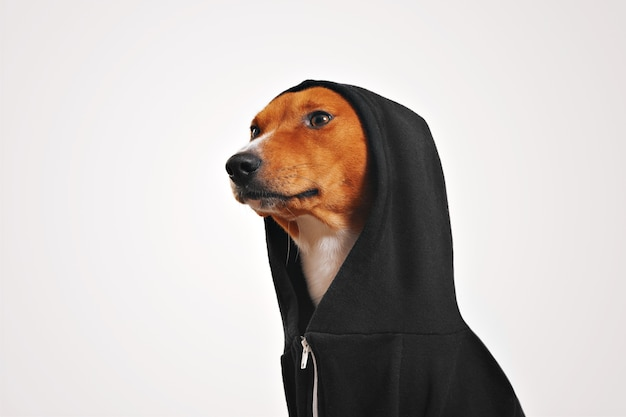 Fancy looking red and white basenji dog in black cotton hoodie with hood up looks on left, isolated on white
