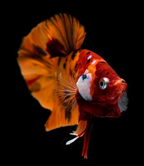 Fancy nemo betta or siamese fighting fish.