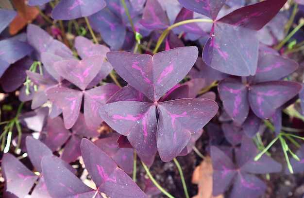 Fantastic deep purple leaves with hot pink pattern of false shamrock plant