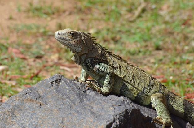Fantastico volto di un'iguana americana su una roccia.