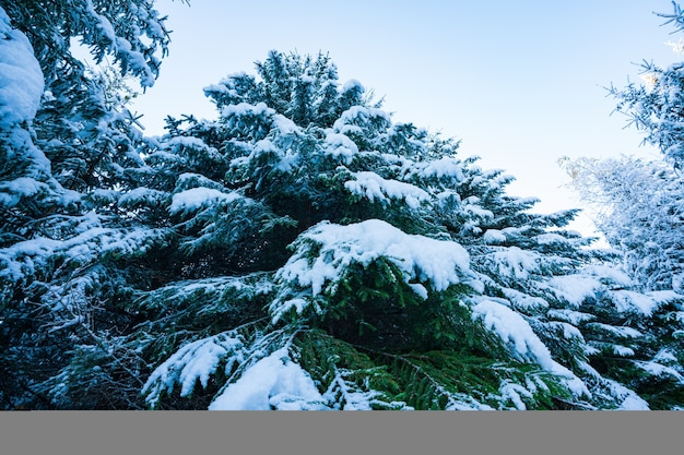 Фантастические зеленые и пушистые ветки елки, покрытые белым снегом в еловом лесу карпатских гор в солнечный день