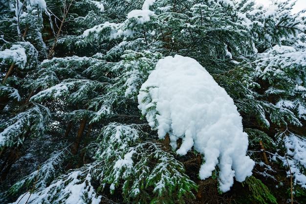 화창한 날에대로 산의 가문비 나무 숲에 하얀 눈으로 덮여 크리스마스 나무의 환상적인 녹색과 솜털 가지