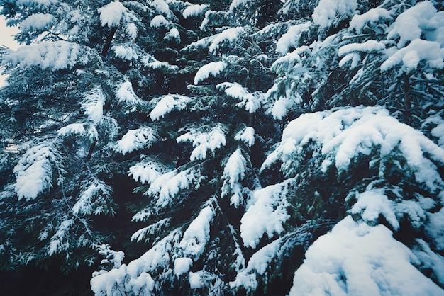 カルパティア山脈のトウヒの森で白い雪に覆われたクリスマスツリーの幻想的な緑とふわふわの枝