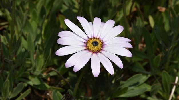 庭に咲く幻想的な薄紫のアスターの花。