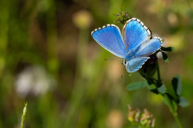 Fantastic macro shot of a beautiful adonis blue butterfly on grass foliage with a nature surface