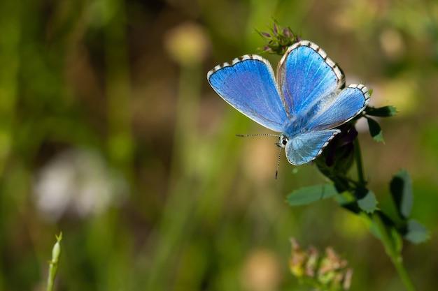 自然の表面を持つ草の葉の上の美しいアドニスブルー蝶の素晴らしいマクロ撮影