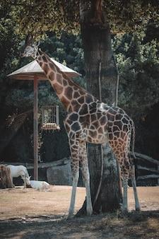 A fantastic portrait of a giraffe while eating