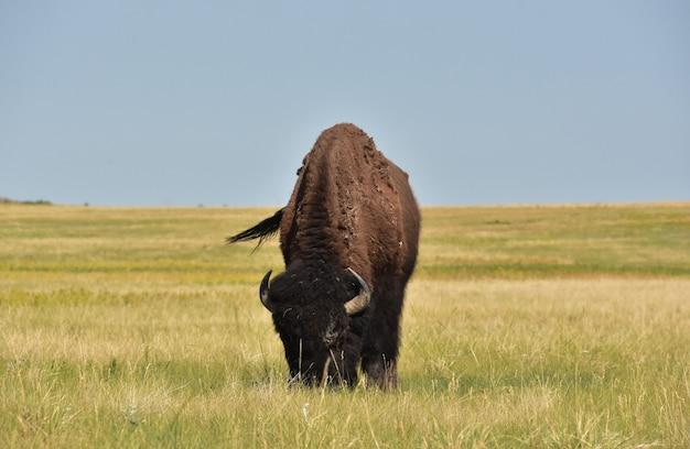 Fantastica prateria con un bisonte che pascola sull'erba in south dakota.