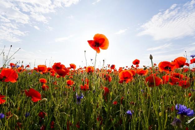 Фантастический вид на чудесное маковое поле в конце мая. великолепно цветущие освещенные летним солнцем красные полевые цветы на фоне ярко-голубого неба с пухлыми белыми облаками. красота и нежность природы концепции.