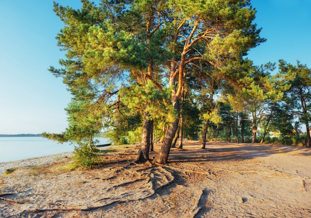 Fantastic views of the pine forest in the summer warm day