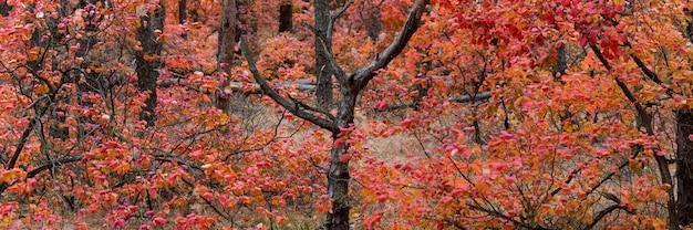 Фантастический пейзаж ярко-красно-золотого леса с дымовым кустом или cotinus coggygria, осенью