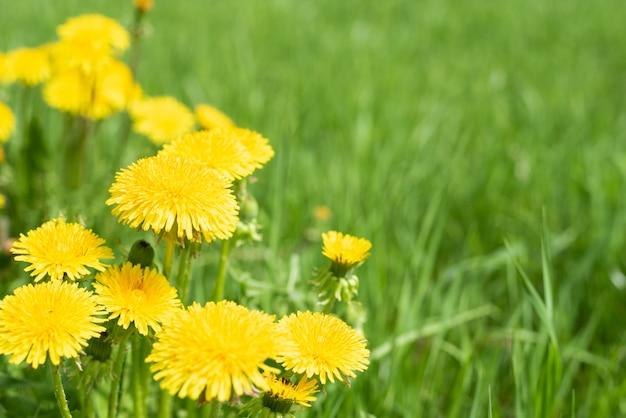 Абстрактная предпосылка с зеленой травой и желтыми цветками одуванчика или farfara tussilago
