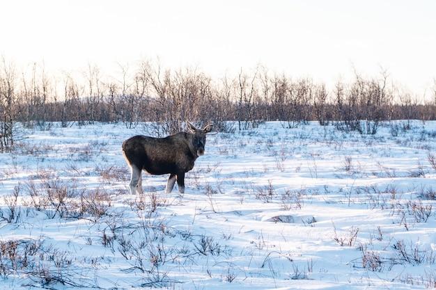 스웨덴 북부의 눈 덮인 시골을 산책하는 농장 동물
