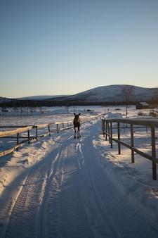 Animale da fattoria facendo una passeggiata sulla campagna innevata nel nord della svezia
