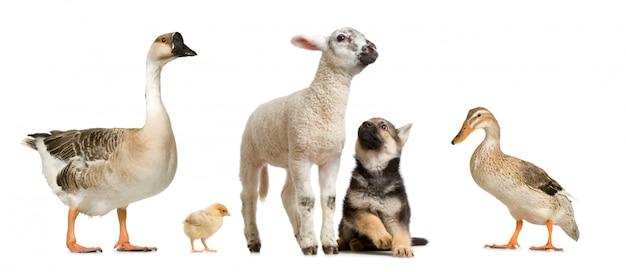 Сельскохозяйственные животные на белом фоне