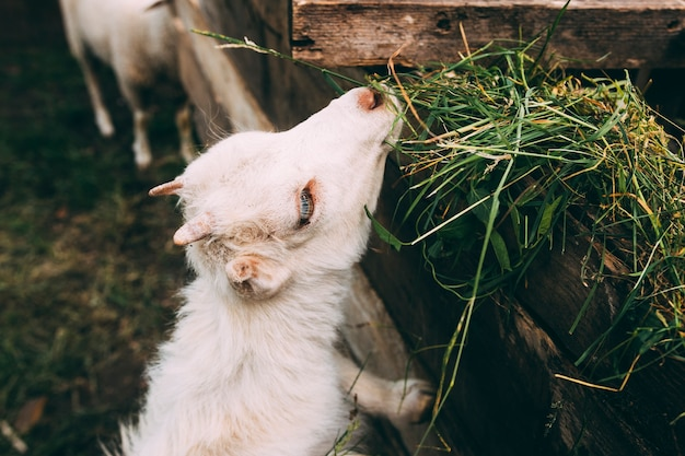 Farm concept with baby goat