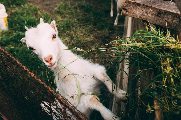 Farm concept with cute goat