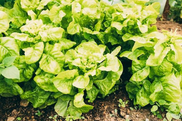Farm concept with salad