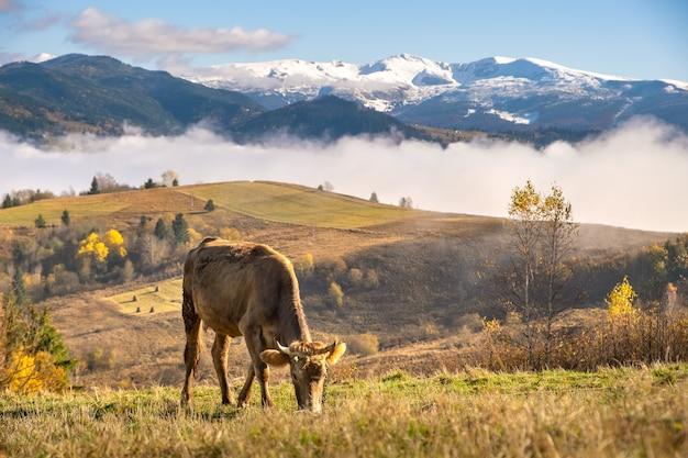 여름 산의 고산 목초지 초원에서 방목하는 농장 소.