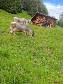 Farm cows grazing grass at wooden hut in murren, lauterbrunnen, switzerland