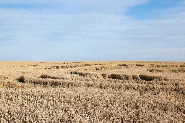 農地の穀物-穀物、ベラルーシ、熟した黄ばんだ穀物が育つ農地、 Premium写真