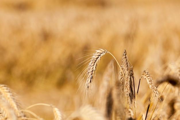 農地の穀物-穀物、ベラルーシ、熟した黄ばんだ穀物が育つ農地、