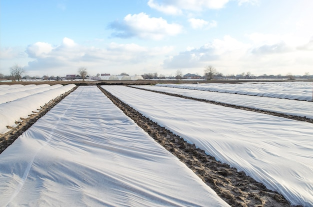 A farm field covered with a white spunbond membrane to protect young potato bushes