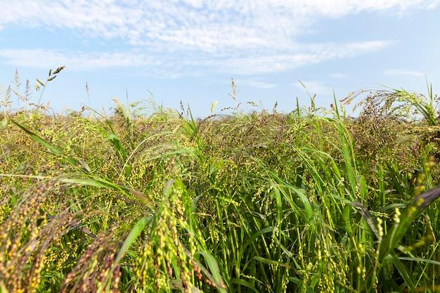 녹색 식물과 기장이 자라는 농장 필드. 사진 근접 촬영. 하계
