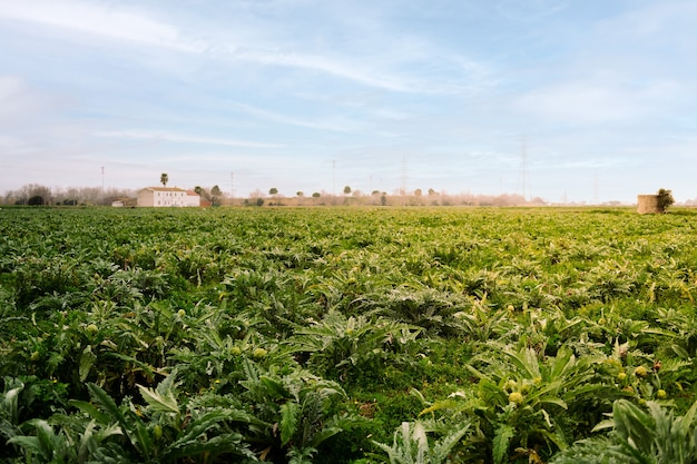 아티 초크 식물이 심어진 농장