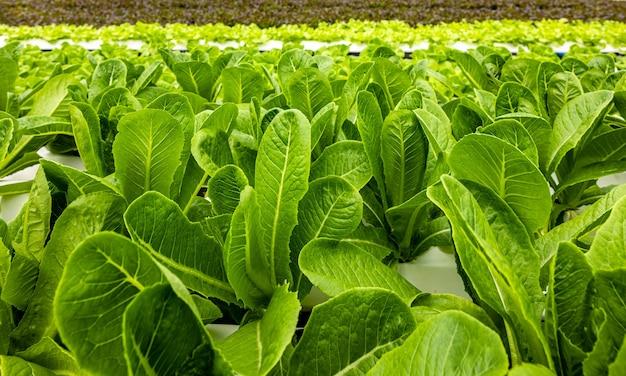 신선한 양상추 잎의 근접 촬영 유기농 수경 야채 재배 농장