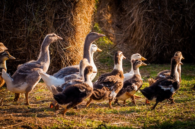 On the farm, geese and ducks are running in the meadow, the sun's rays fall on them