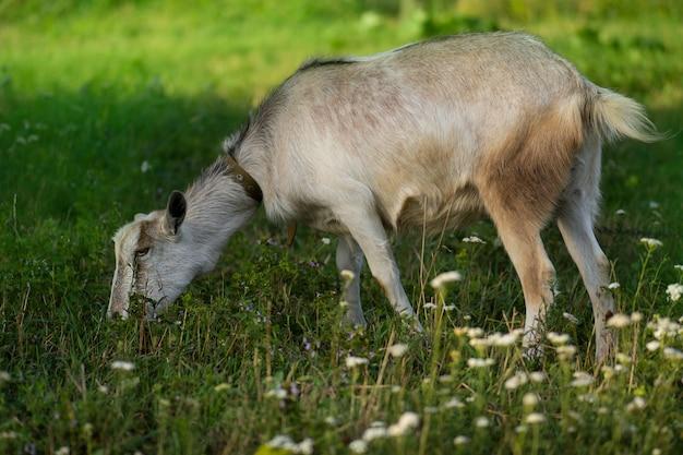 꽃에 신선한 녹색 초원에 태양을 즐기는 농장 염소. 마을에서 호기심 많은 염소. 우크라이나 국가 생활