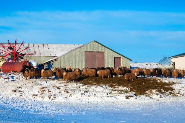 Ферма зимой в маленьком городке в исландии. бараны гуляют по снегу