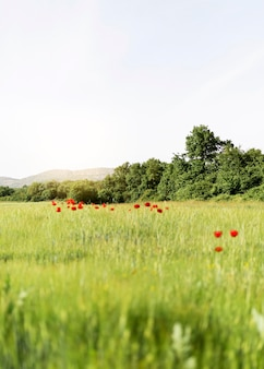 Farm life with poppies field