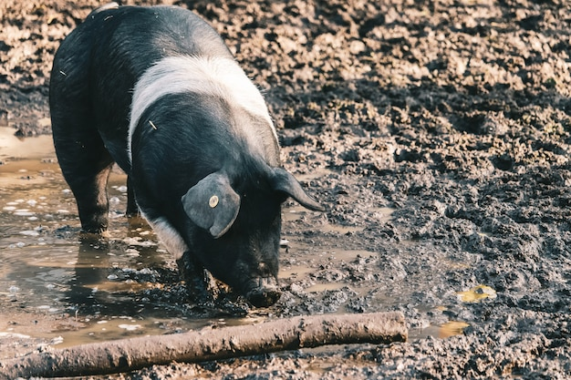 Farm pig with a visible ear tag foraging for food on a muddy ground  near a log