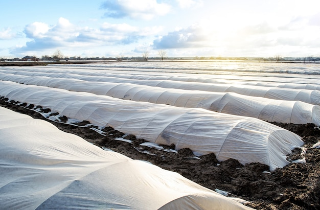 Farm potato plantation field is covered with spunbond spunlaid nonwoven agricultural fabric