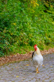 Farm rooster making his way across the road.