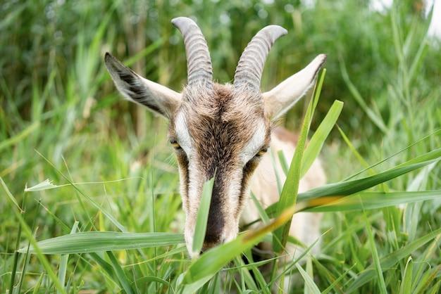 Ферма дым коза ест траву на пастбище, наслаждаясь теплым летним днем
