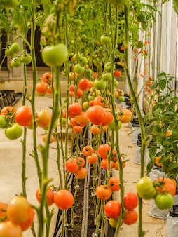 Farm tomatoes in the greenhouse