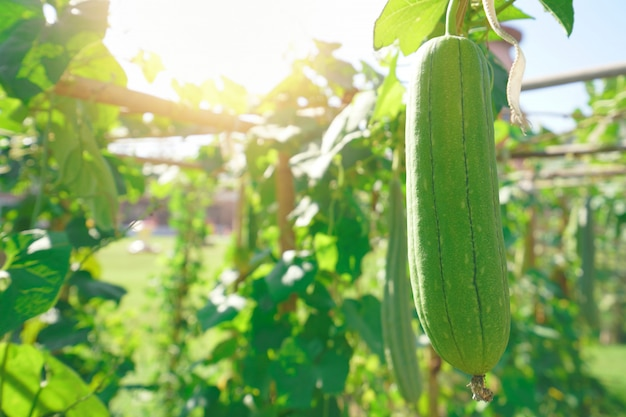 Farm vegetable garden with sun light
